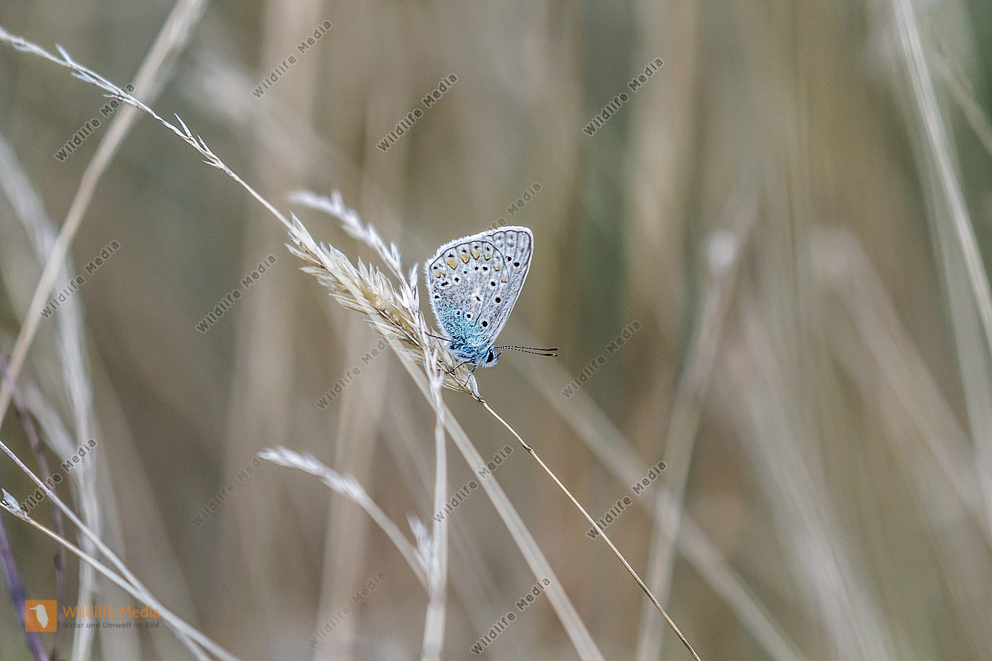 A common blue is sitting on a grass-stock