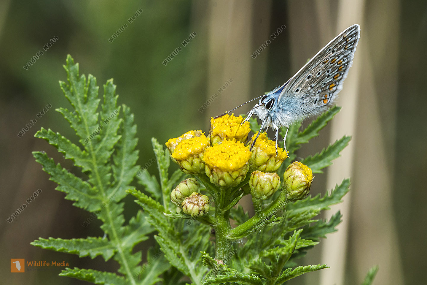 A common blue is sitting on a flower