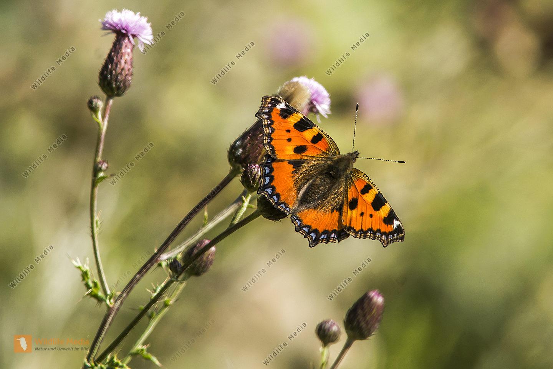 Kleiner Fuchs mit ausgebreiteten Flügeln an einer Blüte