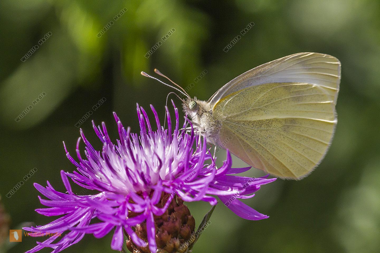 Kleiner Kohlweißling saugt an einer Blüte