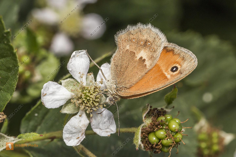 Ein kleines Wiesenvögelchen saugt an einer Blüte
