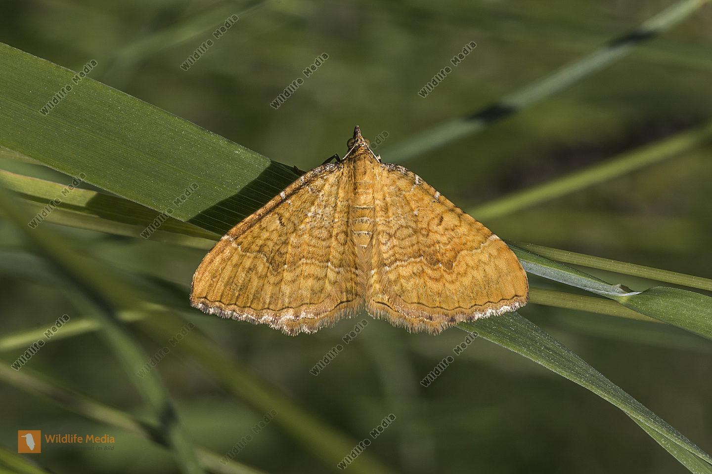 Ein ockergelber Blattspanner ruht auf einem Blatt