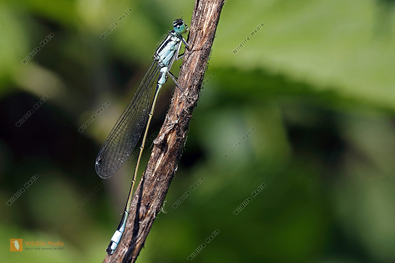 Große Pechlibelle Männchen