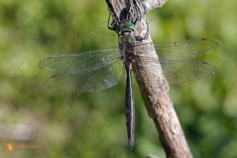 Alpen-Smaragdlibelle Männchen