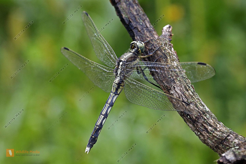 Östlicher Blaupfeil Weibchen