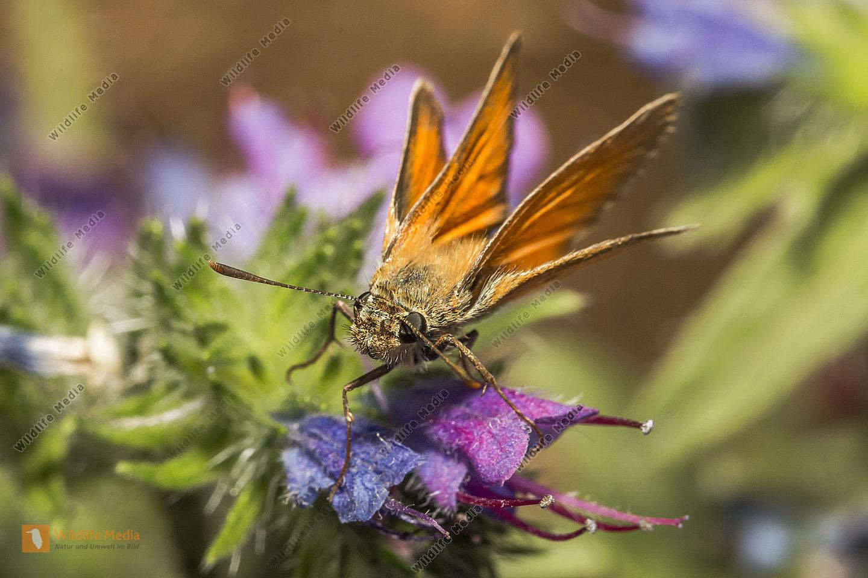 Rostfarbiger Dickkopffalter an einer Blüte