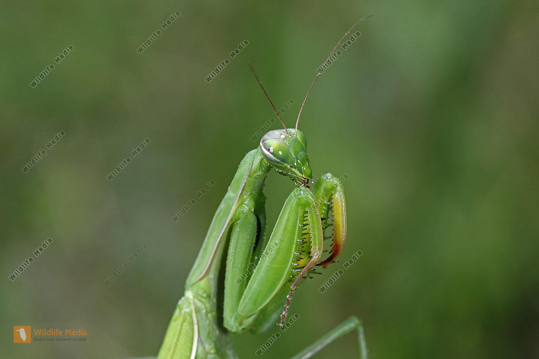 Europäische Gottesanbeterin Weibchen