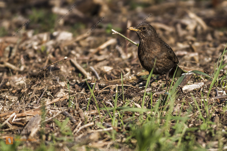Eine Amsel auf Nahrungssuche am Boden