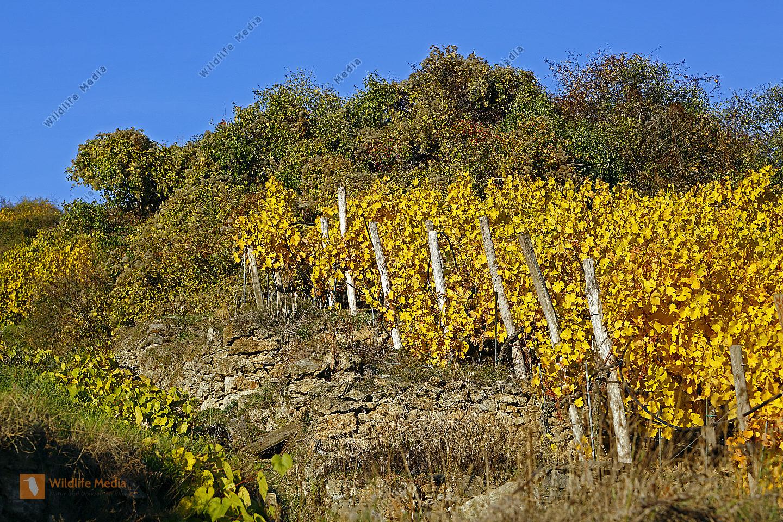 Gelbes Weinlaub