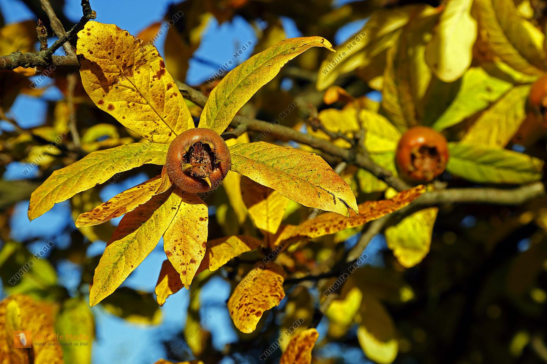Mispel im Herbst