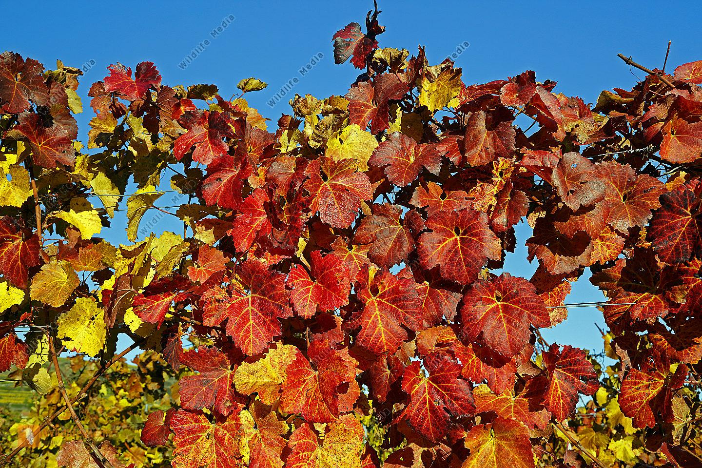 Bildergebnis für jpeg Bilder goldenes Weinlaub wachau
