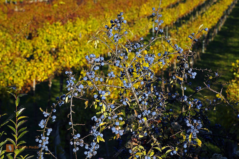 Schlehe im Herbst
