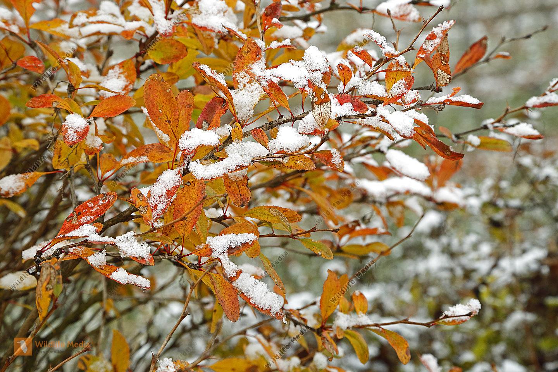 Berberitze im Herbstlaub mit Schnee