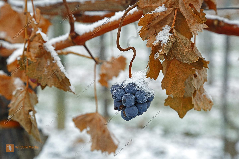Blaue Weintraube mit Schnee