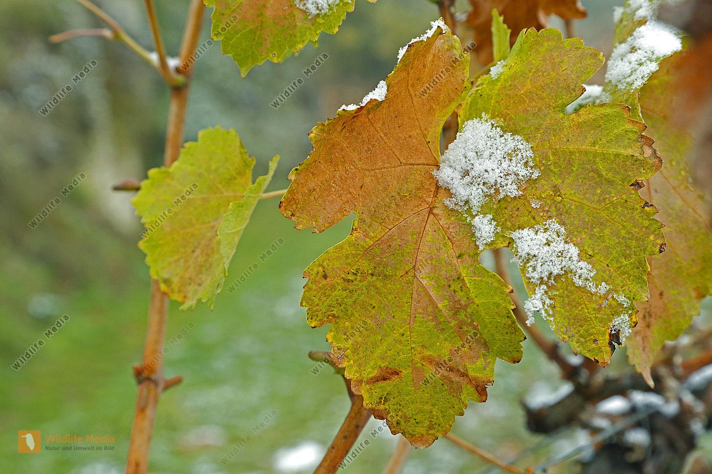 Gelbes Weinlaub mit Schnee