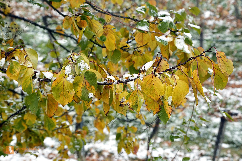 Marillenbaum im Herbstlaub mit Schnee