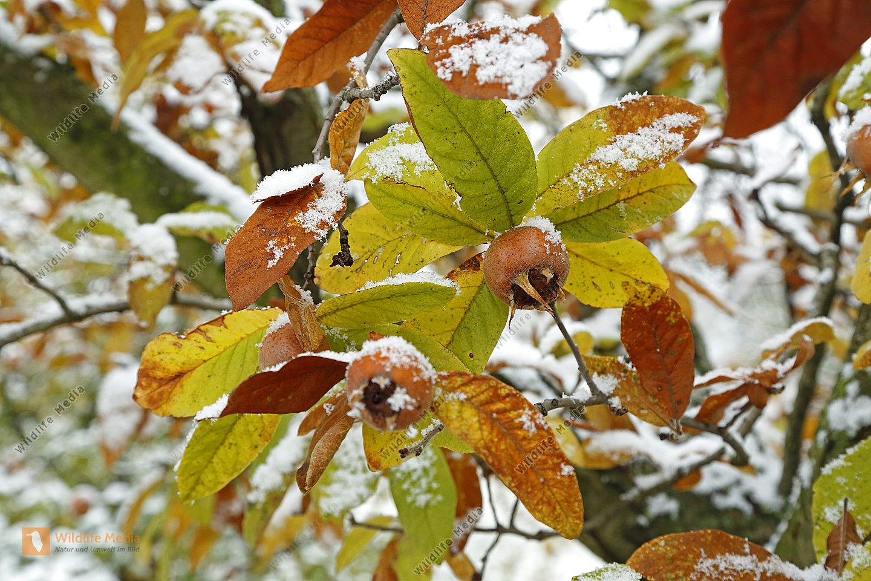 Mispel mit Schnee im Herbst