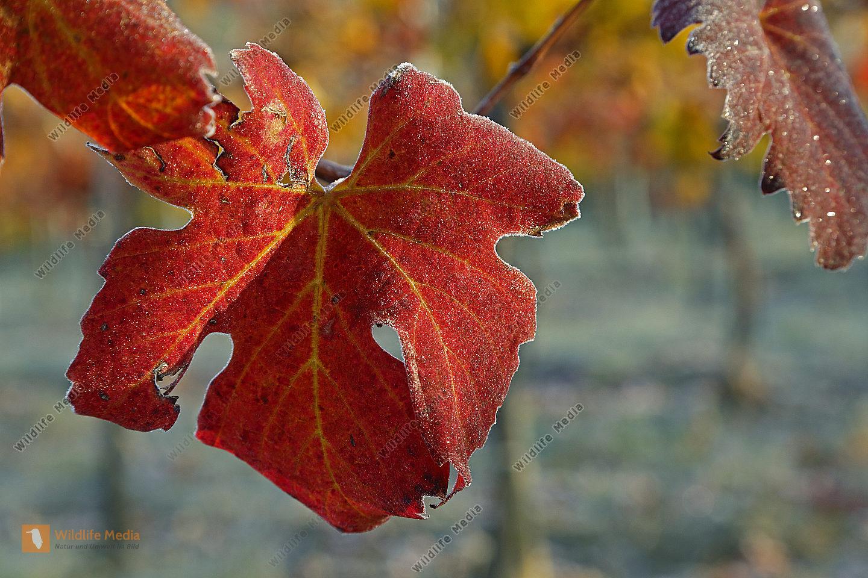 Rotes Weinlaub mit Reif