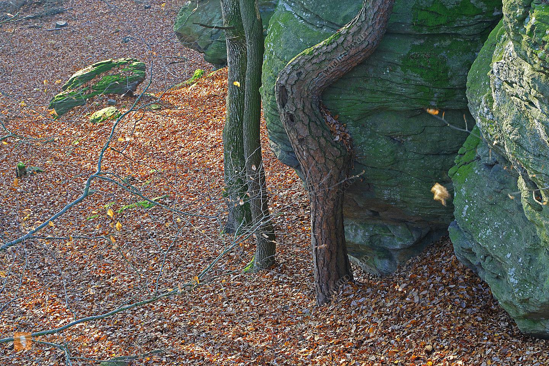 Rotföhre mit Felsen