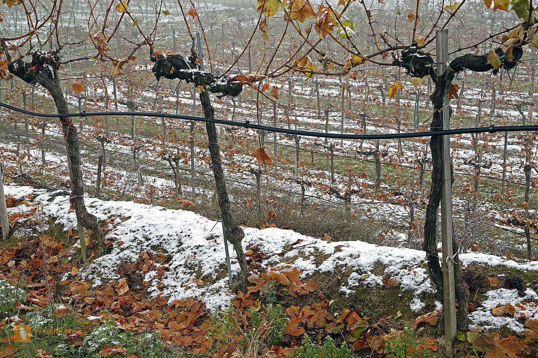 Weinstöcke im Schnee