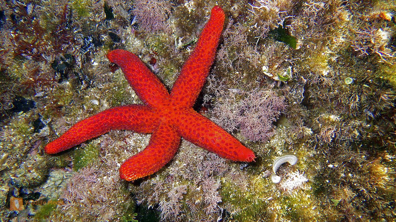 Bestellen - Roter Mittelmeer Seestern (Echinaster