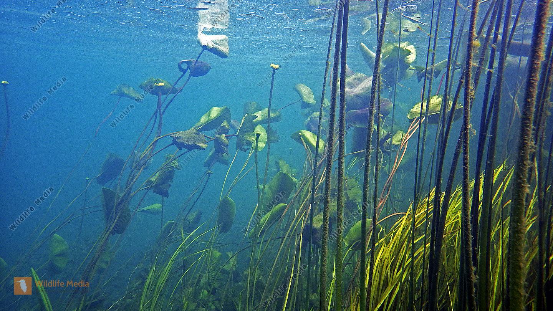 Unterwasserwelt Süßwasser