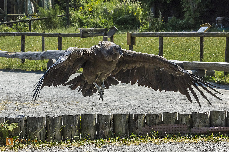Andenkondor - Aufgenommen 2014 im Wildpark Potzberg bei einer Flugvorführung