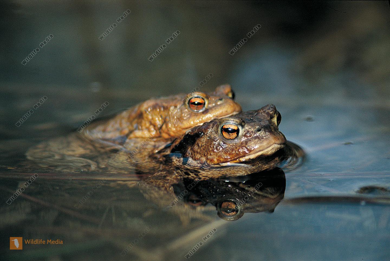 Bufo bufo Erdkröte Frühjahr Wanderung