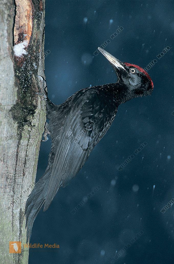 Schwarzspecht Dryocopus martius Männchen an seiner Schlafhöhle im Winter