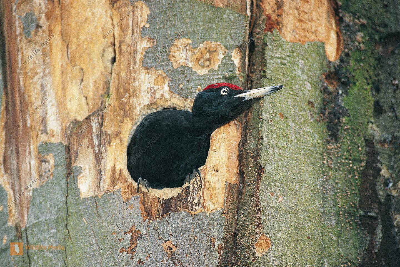 Schwarzspecht Dryocopus martius Männchen sichert während des Höhlenbaus