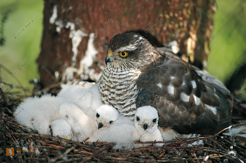 Sperber Accipiter nisus Nest Junge Weibchen hudert Jungvögel