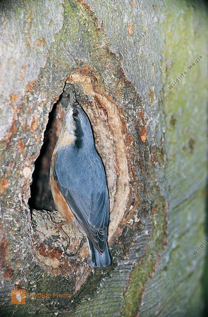 Kleiber Sitta europaea mauert Höhleneingang einer Schwarzspechthöhle zu Dryocopus martius