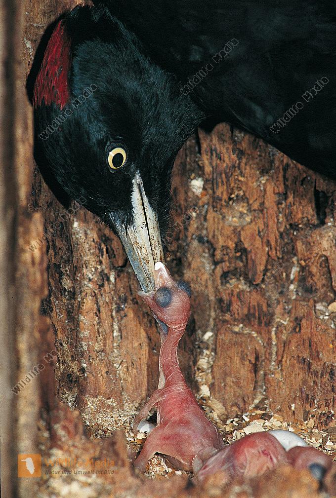 Schwarzspecht Dryocopus martius Weibchen füttert frisch geschlüpfte Junge