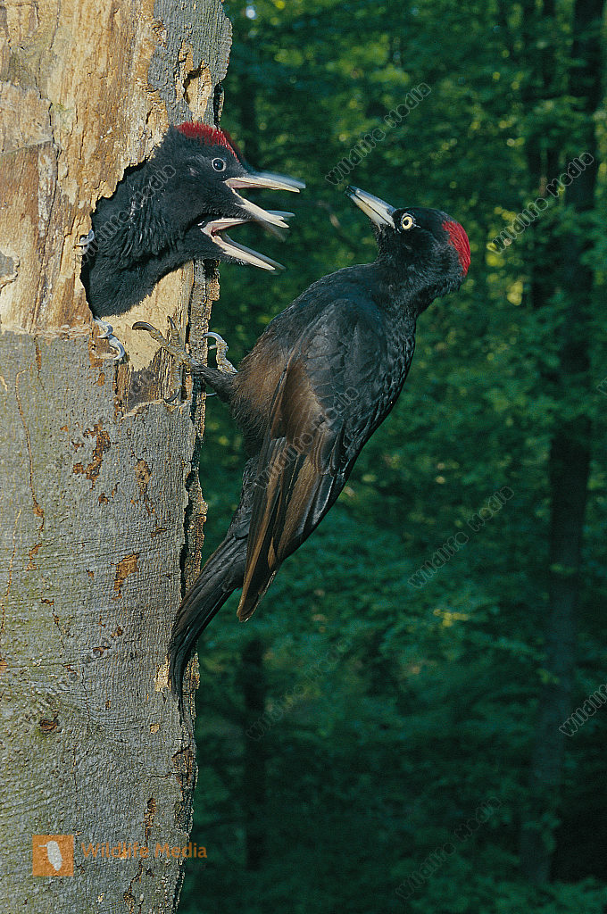 Schwarzspecht Dryocopus martius Weibchen füttert fast flügge Junge