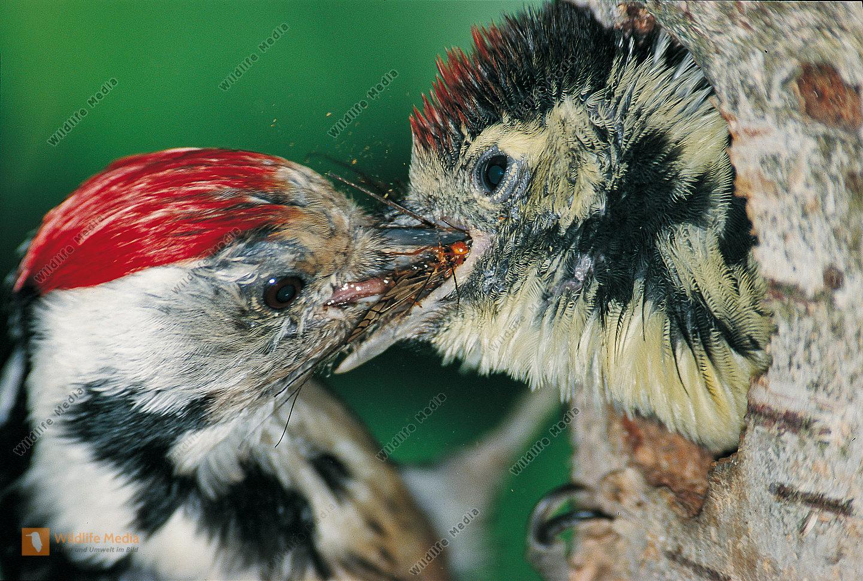 Mittelspecht Leiopicus medius Altvogel füttert fast flüggen Jungvogel