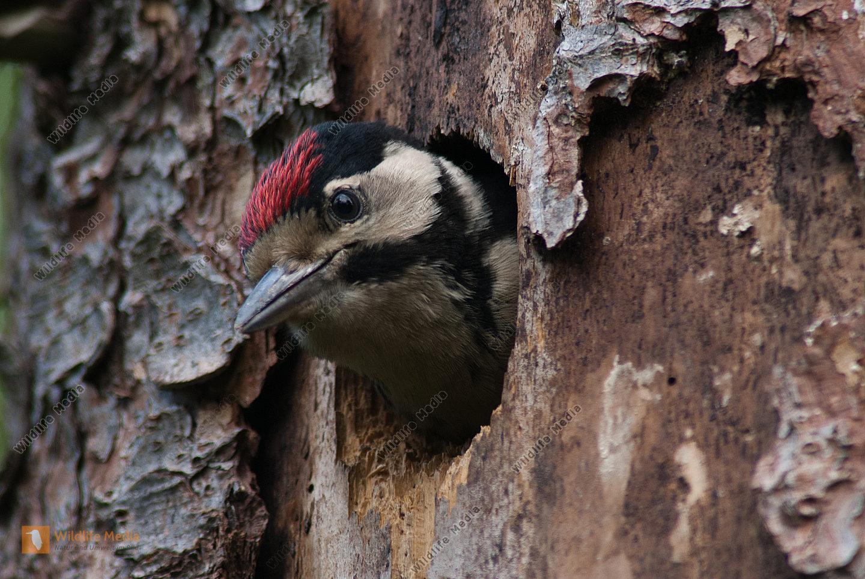 Buntspecht Dendrocopos major fast flügger Jungvogel schaut aus Höhle in Fichte