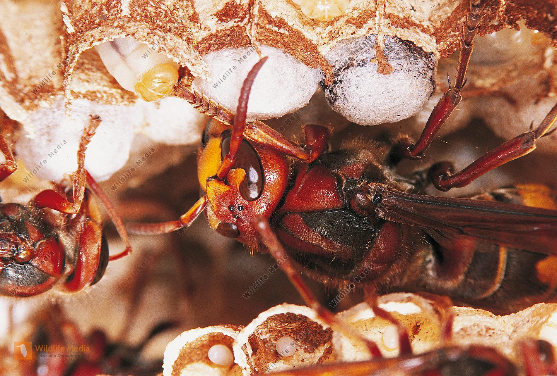Hornisse Vespa crabro Königin Brutpflege