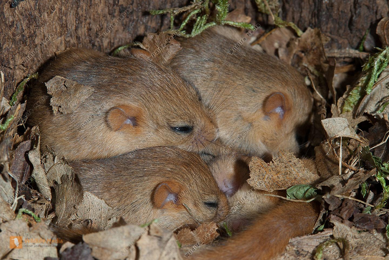 Haselmaus Muscardinus avellanarius Nest in Höhle des Schwarzspechts Jungtiere