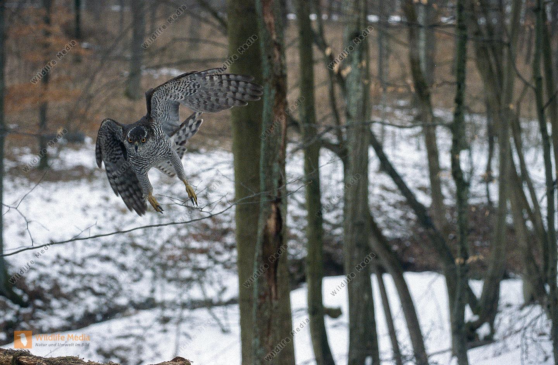 Habicht Accipiter gentilis Weibchen im Jagdflug Wald Winter