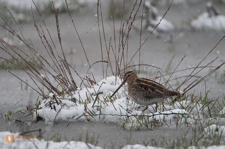 Bekassine Gallinago gallinago  Schnee Frühjahr Nahrungssuche