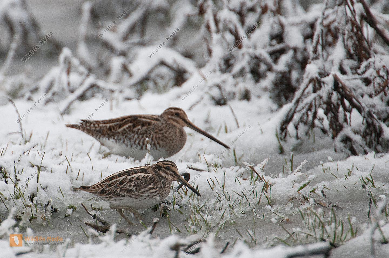 Bekassine Gallinago gallinago  Lymnocryptes minimus Schnee Frühjahr Nahrungssuche