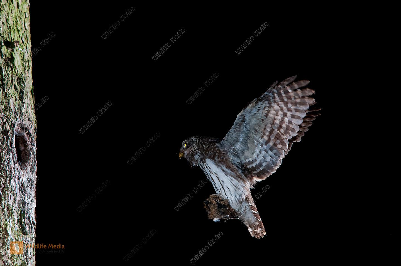 Altvogel Anflug Beute Bruthöhle Eulen fütterung Glaucidium passerinum Porträt Sperlingskauz