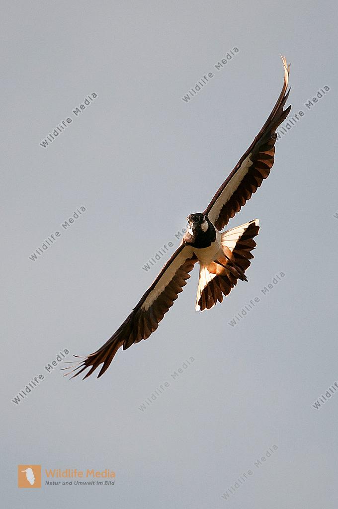 Kiebitz Vanellus vanellus  Flug