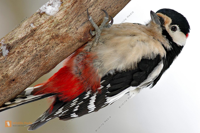 Buntspecht Dendrocopos major Männchen Nahrungssuche Winter