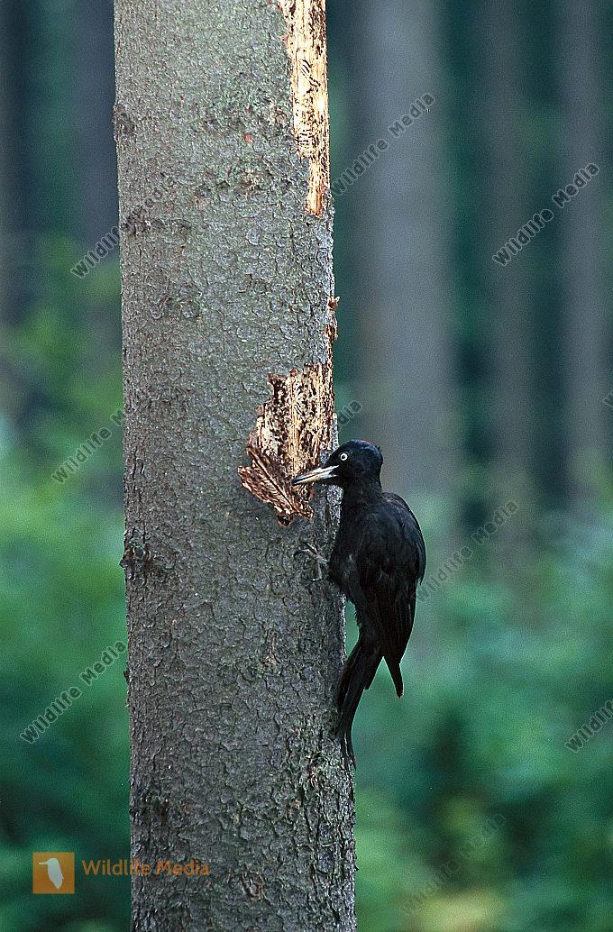 Schwarzspecht Dryocopus martius Weibchen Nahrung Fichte Borkenkäfer