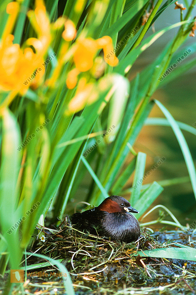 Zwergtaucher Tachybaptus ruficollis Brut Nest