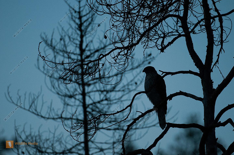 Habicht Accipiter gentilis Silhouette