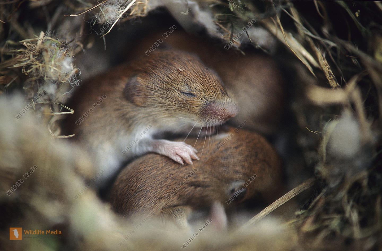Erdmaus Microtus agrestis Nest Junge