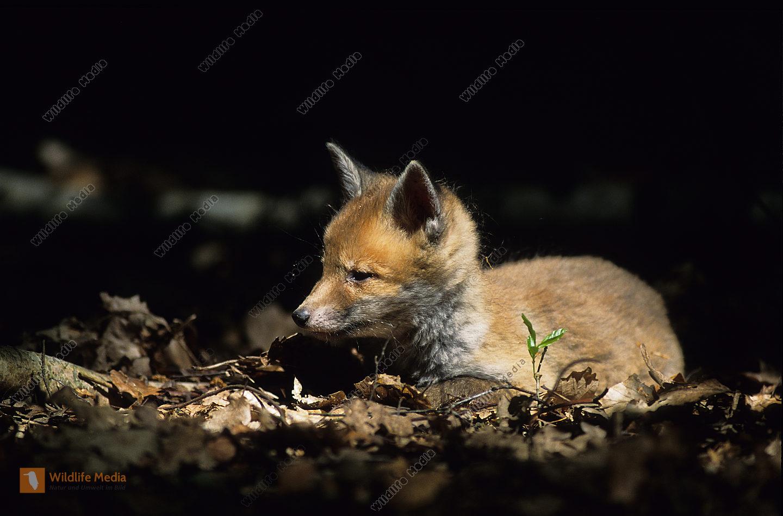 Fuchs Vulpes vulpes