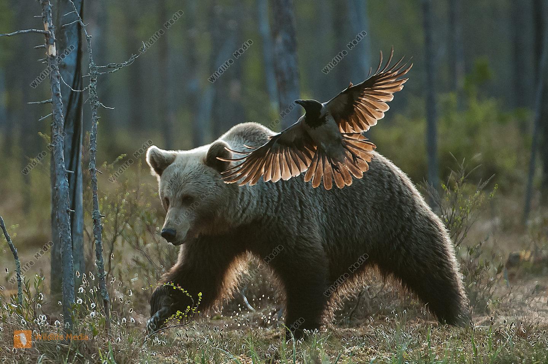 Braunbär Ursus arctos Finnland Corvus corone Nebelkrähe